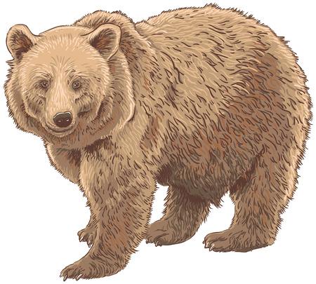 kodiak: Kodiak Oso aislado Ilustraci�n vectorial Vectores