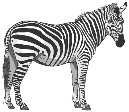 Isolated Plains Zebra Illustration