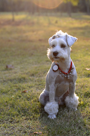 two year: Two year old schnauzer dog Stock Photo