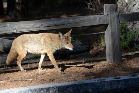 Un renard sauvage traversant un parc de stationnement dans le parc national de Yosemite Banque d'images - 85176549