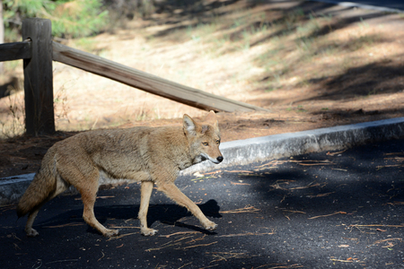 A wild fox passing through a parking lot in Yosemite National Park Stock fotó