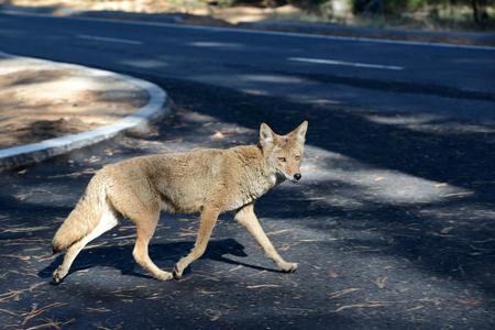 Un renard sauvage traversant un parc de stationnement dans le parc national de Yosemite Banque d'images - 85176553