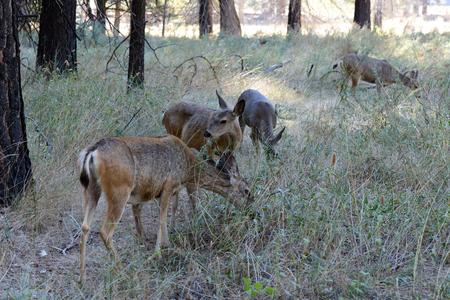 mule deer: Wild mule deer in Yosemite National Park