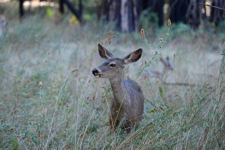 Cerf mulet sauvage dans le parc national de Yosemite Banque d'images - 85176555