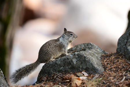 Wild Squirrels in Yosemite National Park landscape scenery view