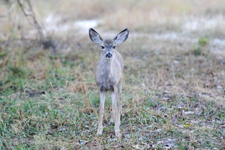 Wild mule deer in Yosemite National Park landscape scenery view