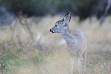 Cerf mulet sauvage dans la vue de paysage paysage du parc national de Yosemite Banque d'images - 85176566