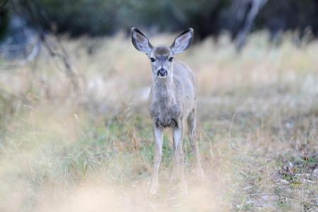 Cerf mulet sauvage dans le parc national de Yosemite Banque d'images - 85252096