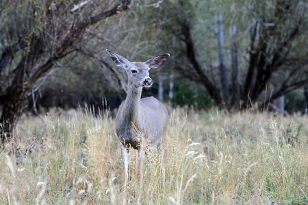 Wild mule deer in Yosemite National Park