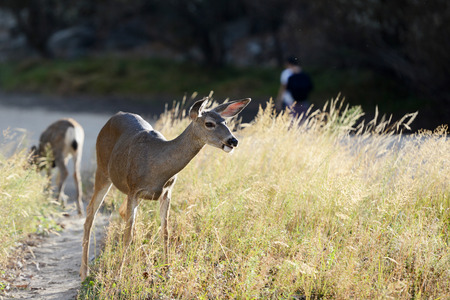 sierra: Wild mule deer in Yosemite National Park