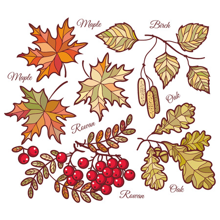 mountain ash: Autumn leaves. Vector drawing on white background. Icons. Autumn background. Birch. Maple. Rowan. Oak. The tablet. Mountain ash. Banner. Vector elements isolated. Outline drawing. Template for a designer Illustration