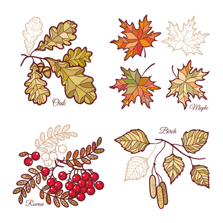 Autumn leaf. Rowan. Maple. Birch. Oak. Set. Illustration