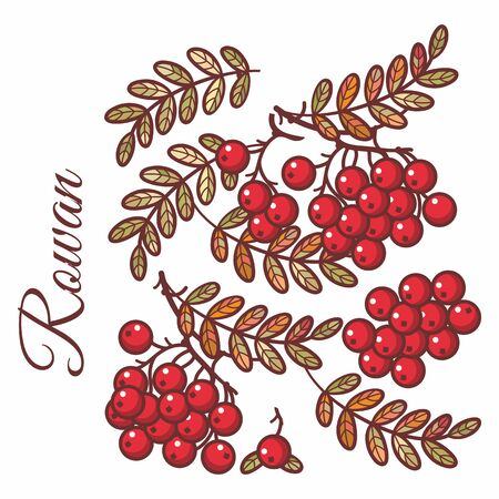 Rowan, ash, mountain ash with ashberry.Leaves of mountain wild ash berries in the stained illustration. Foliage forest leaf vector. falling autumn leaves. Fall leaf design 版權商用圖片 - 130232841
