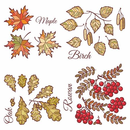 Autumn leaves set with Rowan, maple, birch and oak. Fall leaf design. Foliage forest leaf vector. Red, Green, brown and yellow falling autumn leaves. Autumn leaves design pattern. Ash leaf and berry 版權商用圖片 - 130232959