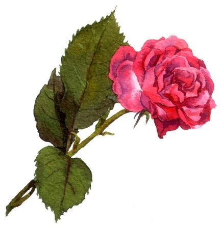 an inflorescence: Pink rose
