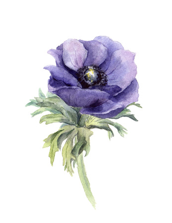 One blue anemone flower, white background, handmade watercolor