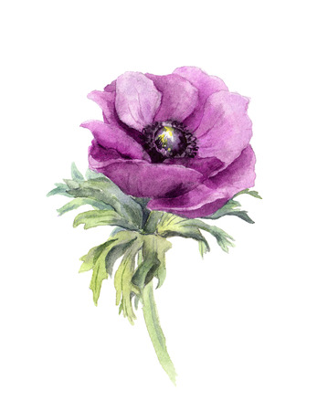 One violet anemone flower, white background, handmade watercolor
