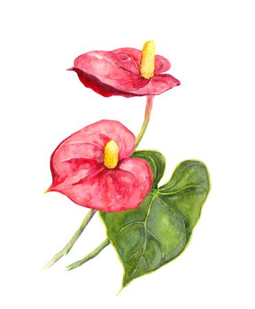 Anthurium, red cala flower on white background