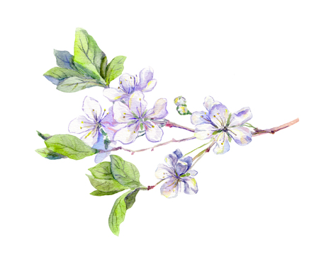 an inflorescence: Blooming white cherry tree flowers, japanese sakura, watercolour botanical illustration Stock Photo