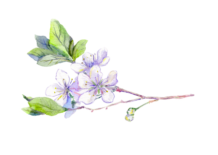 aquarel: Blossom of spring cherry flower - sakura. japanese sakura, watercolor