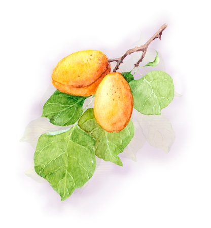 apricot tree: Apricot fruit tree, Watercolor illustration hand made Stock Photo