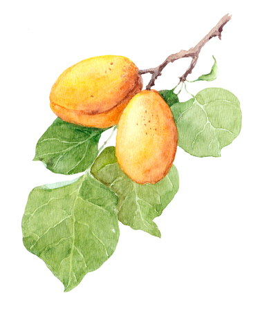 Apricot fruit tree, Watercolor illustration hand made Stock Photo