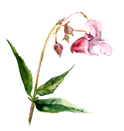 impatiens: Pink isolate balsam flower in watercolor one
