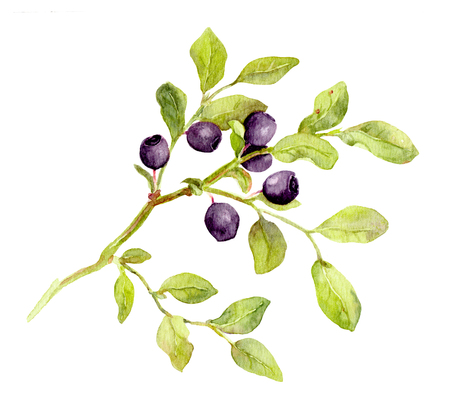 Blueberry branch with leaves and berries - watercolor