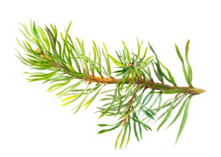 手描き 1 つ分離、スプルースの枝の水彩画 写真素材