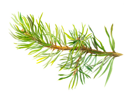 Hand painted spruce branch, one isolated, watercolor