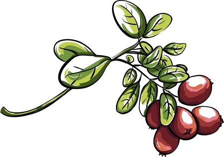 foxberry: Red vector clusterberry Illustration