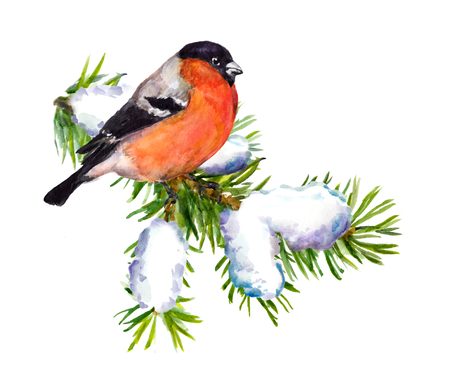 snow forest: Winter watercolor painter bullfinch on snow spruce branch