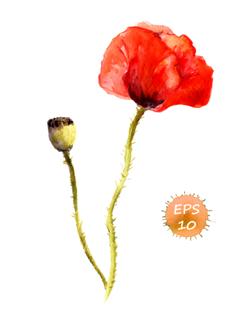 flower bright: Poppy flower isolated. Watercolor hand drawing vector