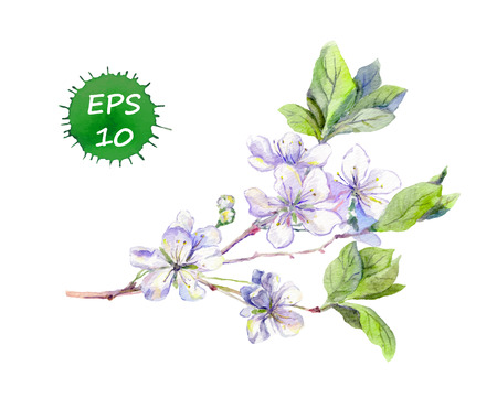 tree fruit: Blooming white cherry tree flowers japanese asian sakura on branch. Watercolour
