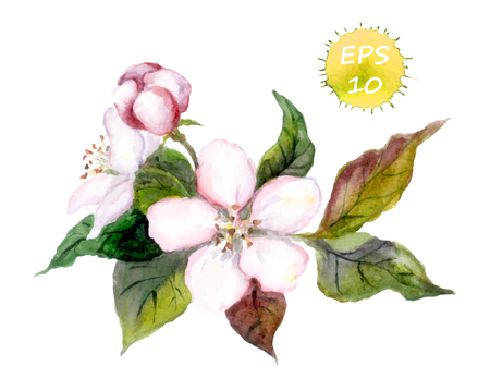 Apple tree flowers with leaves watercolor vector isolated