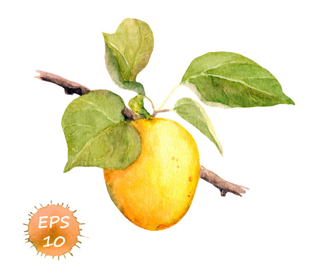 Apricot fruit on the tree. Watercolor vector isolated
