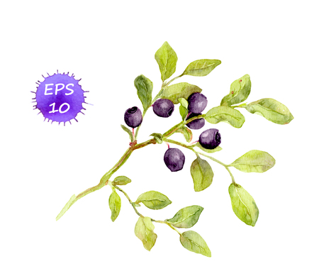 Blueberry branch with leaves and berries. Watercolor vector isolated Иллюстрация
