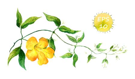bindweed: Branch of yellow bindweed watercolor isolated vector Illustration