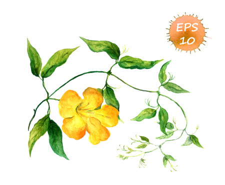 green flowers: Branch of yellow bindweed watercolor isolated vector Illustration