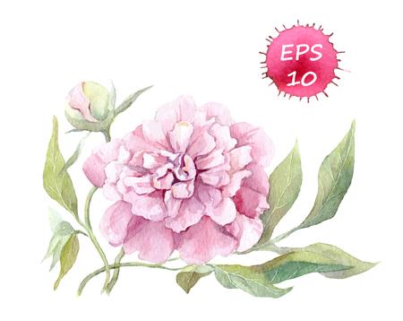 Peony flower. Watercolor botanic illustration, vector isolated