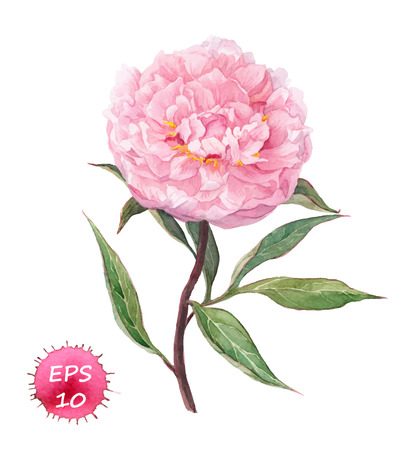 botanical: Peony flower. Watercolor botanic illustration, vector isolated