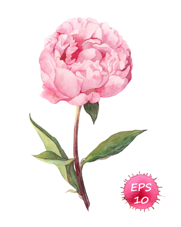 color illustration: Peony flower. Watercolor botanic illustration, vector isolated