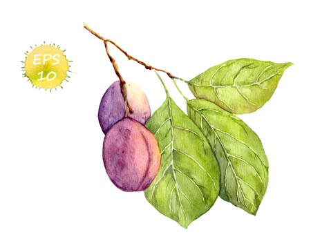 water plants: Plum fruit on the tree. Watercolor vector isolated
