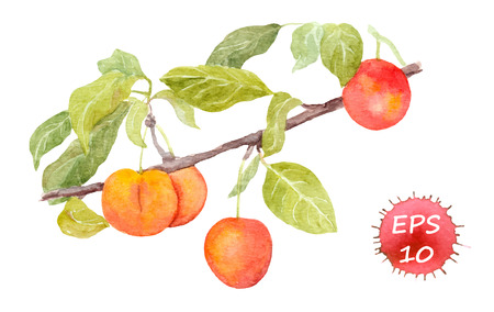plums: Red cherry plum fruit. Watercolour illustration isolated