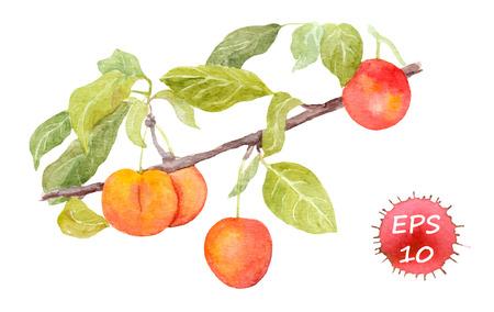 plum: Red cherry plum fruit. Watercolour illustration isolated