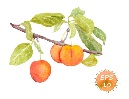 Red cherry plum fruit. Watercolour illustration isolated