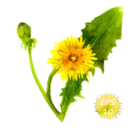 green yellow: Watercolor painted dandelion flower with leaves, vector isolated