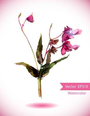 balsam: Balsam pink flower - jewelweed or Impatiens glandulifera plant. Watercolor vector