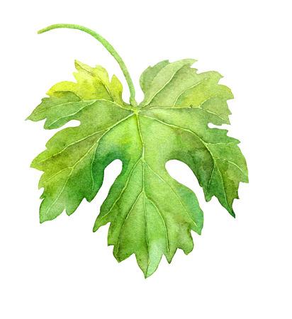 Grape leaf of vine. Watercolor botanical illustration Фото со стока