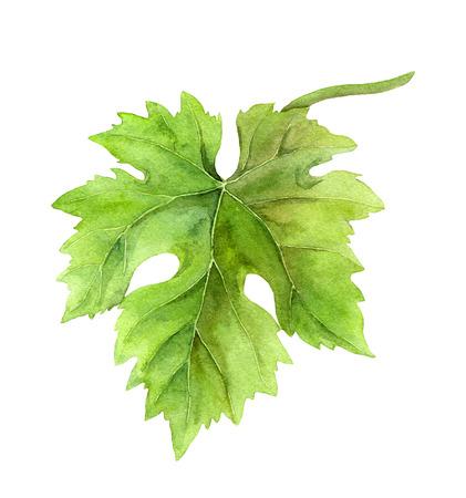 grape leaf: Grape leaf of vine. Watercolor botanical illustration Stock Photo